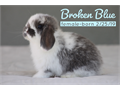 Super sweet purebred female Holland Lop Bunny This little cutie loves to be held is very friendl