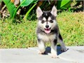 These gorgeous pomsky puppies are so small and cute Their perfect triple coat is amazingly soft and