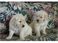 Golden Retriever PupsText me on   813-586-0441 or E mail on paulhulk789gmail