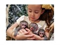 Marvelous Capuchin monkeys Top quality monkeys 13 weeks old very healthy All health records avai