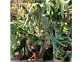 Large Staghorn Fern