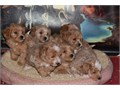 Seven Adorables cute and cuddle puppies are ready to go to their forever homeThey are like a work