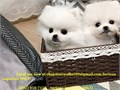 Charming Pomeranian puppies availableCharming Pomeranian puppies available They are top of the li