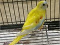 Young yellow turquosine parakeets available   Good with Bourkes finches doves
