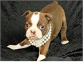 Polite Boston terrier puppieslove playing and runningcontact at 404-939-5204 f