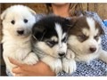 8 week old husky puppies Black white and brown ones available First shots and deworming done Ca