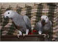 Talking pair of African gray parrots available they come with cage and accessories i am asking 80