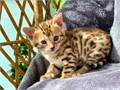 Bengal Pure Breed Kittens for sale more details and recent picturesText me on this number 913 703