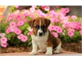 Jack Russell pupsRegisteredregisterable Current vaccinations Veterinarian examination Health c