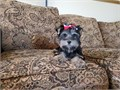 Yorkie Yorkshire Terrier Male 714519-6657 Born 425Up to date and shots and deworming Regi