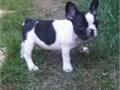 Akc registered French Bulldog puppiesSuper adorable French Bulldog puppies So gentle and affectio