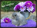 Fuzzy lop baby bunnies 8 weeks old super fluffy very friendly Dwarf breed only 4-4 lbs full gro