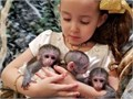 Adorable USDA registered female 18 weeks old capuchin monkey which is available for a new honest and