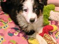 Aussie pups 12 weeks old  older ASCA pups red Merle red  black tri females and males Raised arou