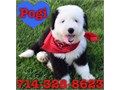 Sheepadoodle Puppies they are 8 weeks old and now ready to go Sheepadoodles are 50 Old English She