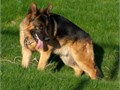 Gorgeous young male for stud born 101320162nd generation GermanGerman Sheppard Beautiful ma