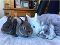 Family raised pure bred mini rex bunnies Indoor bunnies who have been lovingly handled since birth