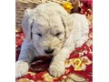 Teddy bear Goldendoodle Pup His mom is a White English Cream Retriever his dad is an apricot Poodl