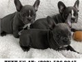Moral French Bulldog Puppies for Adoptionthey are Home raised petsVet checked