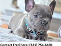 amazing French Bulldog Pups  Text now for more info and pics 321 754-8460
