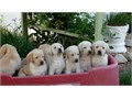 LABRADOR RETRIEVER PUPS AKC YELLOW 8 wks old males  females shots  dewormed beautiful Please call