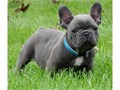 Nice Male and Female blue french  bulldog puppies For more details please email jw60978gmailcom o