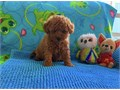 I have an amazing litter of deep red Maltipoo pups They will be ready to leave me now - they are 8