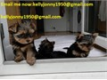 Yorkie Puppies to1 girls and 2 boysfor free to a Good Home-they are 12 Weeks oldEmail me n