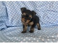 two little tiny yorkies for sale  male and female available they are 9 weeks of age with seconds s