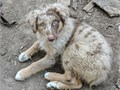Aussie pups 14 weeks old  older ASCA pups red Merle red  black tri females and males Raised arou