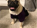 Pug stud not for sale