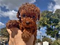 Lovely red poodle girl 6 week oldDad and mom all onsideDad is 6bls and ismom is 5bls Make an a