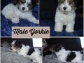 Beautiful sweet parti Yorkie puppy DOB51119 Last  one  left  looking  for