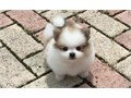 Registered Tea Cup Pomeranian Puppies For Sale Please contact us from our Website where you will be