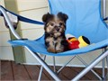 Morkie Yorkshire Terrier Maltese Male 714519-6657 Born 515Up to date and shots and dewormi