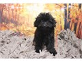 Breed Toy PoodleNickname MidnightDOB June 25 2019Sex MaleApprox Size at Matu