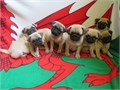 Gorgeous chunky pug pups Looking for their forever Loving homes Boys  Girls available Brought up