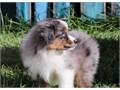 BRT Australian Shepherd Puppies for sale -  text us at804 592 0091- For more info and pics tex