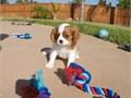 Puppys name CharlieBreed Cavalier King CharlesAge 10 weeks old Registr