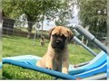 Bullmastiff puppies for sale  These beautiful puppies are family raised and are very friendly They