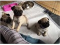 These puppies are very well socialised with TV Radio and children as they have been raised in the f