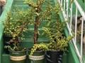 1 gallon 1 foot tall 5five gallon 3 feet tall 20 beautiful edible Portulacaria AfraElephant Bush