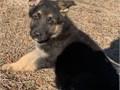 German Shepherd Puppiess DDR Czech West German Bloodlines AKC Registered 8 weeks old