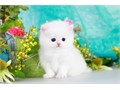 PLEASE TEXT 709 910-5225Two adorable full Persian kittens 1boy 1 girl read