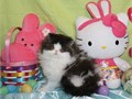 All our Adorable kittens are from CFA PUREBRED PERSIAN CHAMPION PARENTS with No