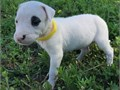 Cute Dogo Argentino Puppies for SaleWe have purebred Dogo Argentino puppies for new homes They ar