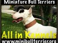 TOP QUALITY Mini Bull Terreirs SOLD AS PETS NO EXCEPTIONS Starting at 3500ww