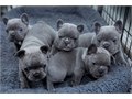 appealing French Bulldog Pups For the most recent info and pictures contact Fred