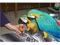 Female Blue and Gold Macaw With CagYou text for more info and pics contact via 540 XX 947 XX 40