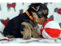Registered Yorkshire Puppies For SaleGorgeous Tiny Yorkie Puppies For Adoption Very Playful a
